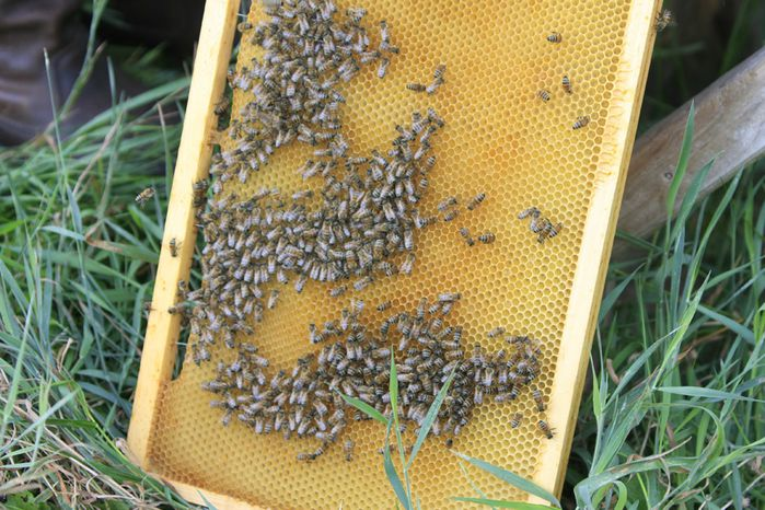 récolte du miel3