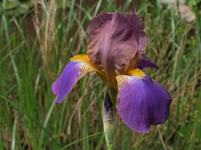 Iris violet 1