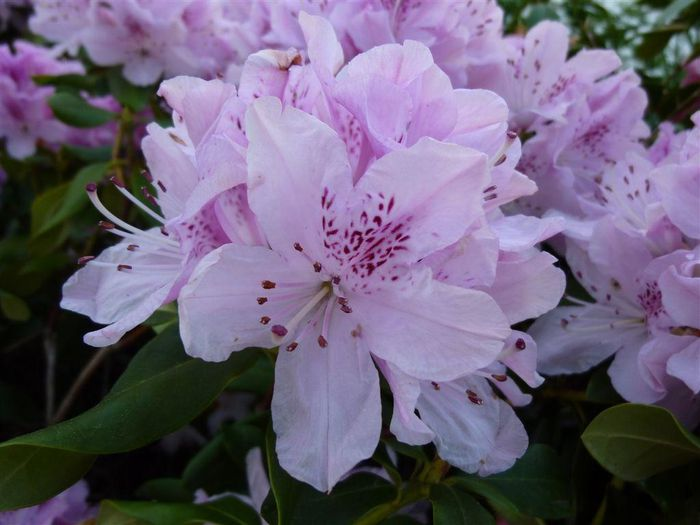 rhododendron-rose.JPG