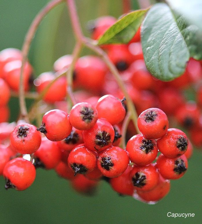 Cotoneaster 1303