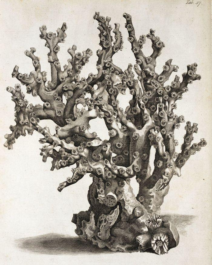 John Ellis Coral Ellis Madrepora 1786 dar01606