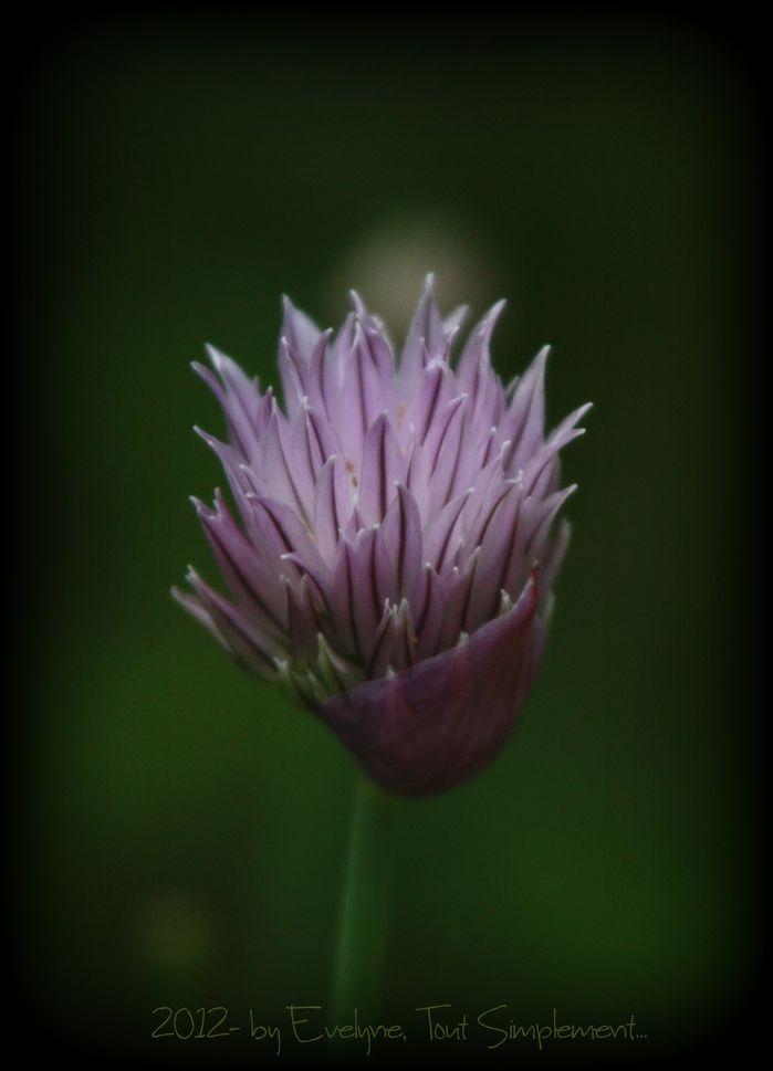 Macro---Fleurs--Plantes--Vegetaux-.-6760.JPG