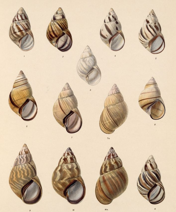 Land-and-Freshwater-Mollusca--1890-1901--by-Eduard-copie-1.jpg