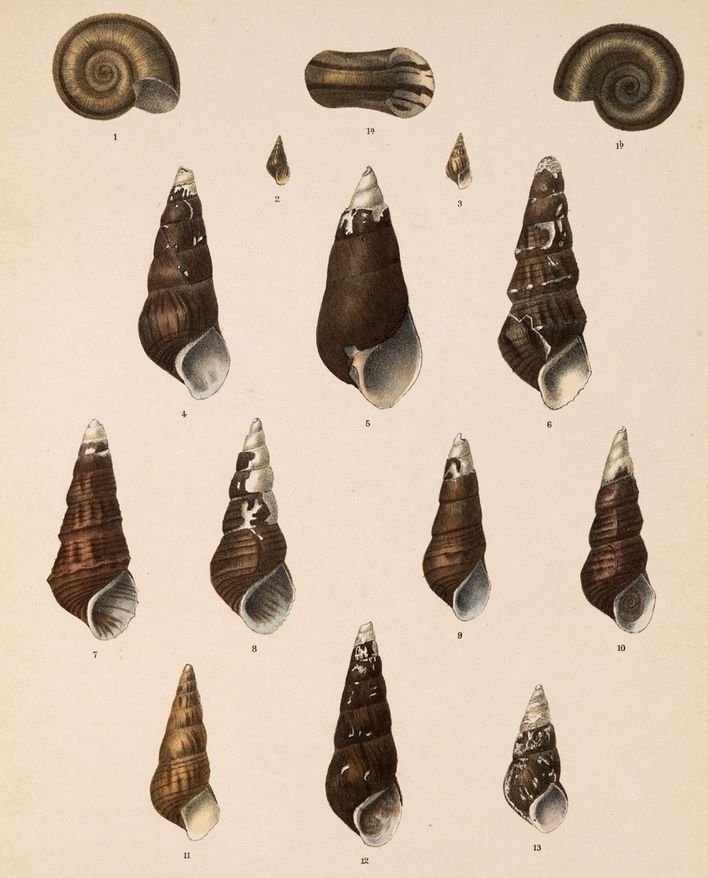 Land-and-Freshwater-Mollusca--1890-1901--by-Eduard-von-Mart.jpg