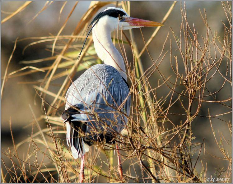 Heron-cendre 1705-1
