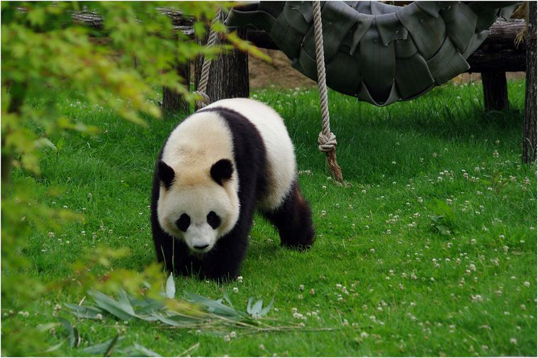 panda-beauval-008