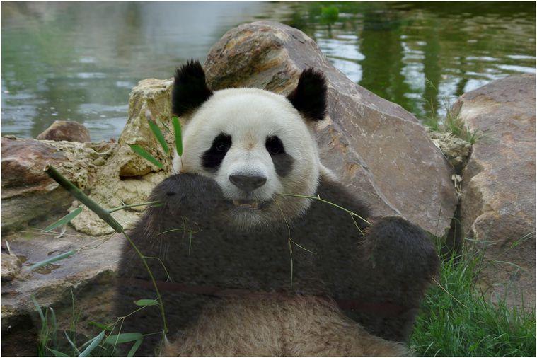 panda-beauval-021