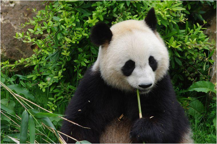 panda-beauval-025