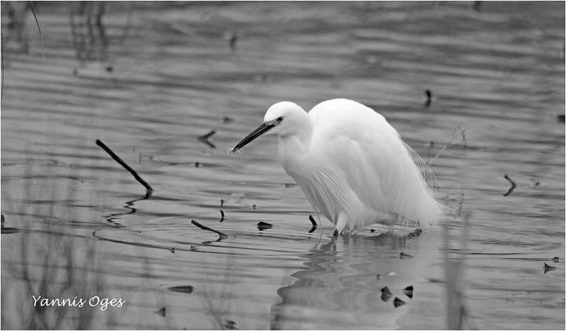 aigrette-NB.jpg