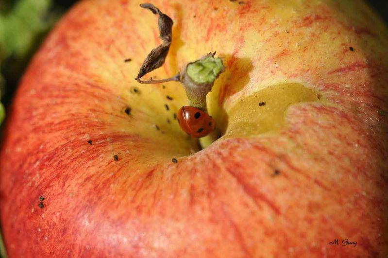 coccinelle-pomme-8607.jpg