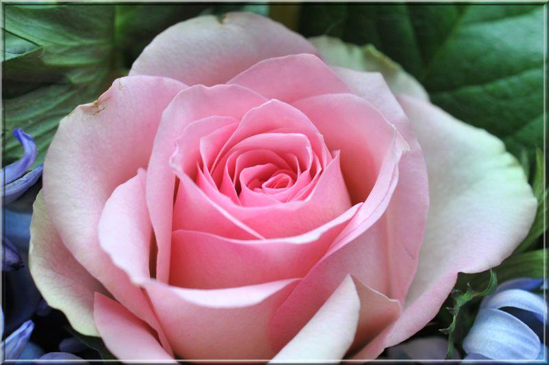 rose 57