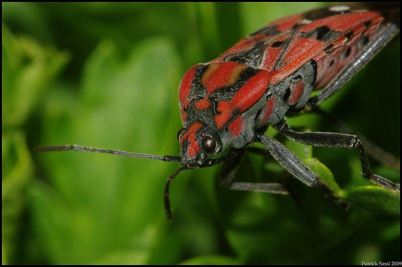 Insecte rouge et noir 105 macro doubleur map manuelle les photos de paddy - Insecte rouge et noir ...