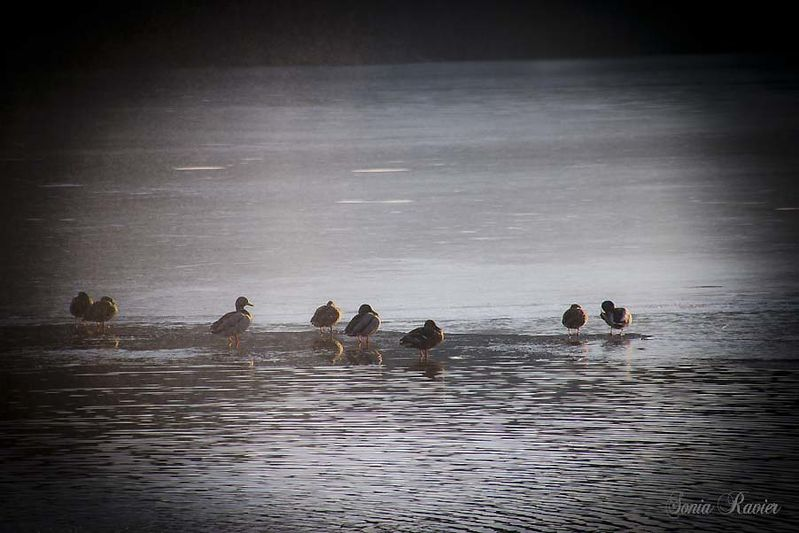 canards glace reduit