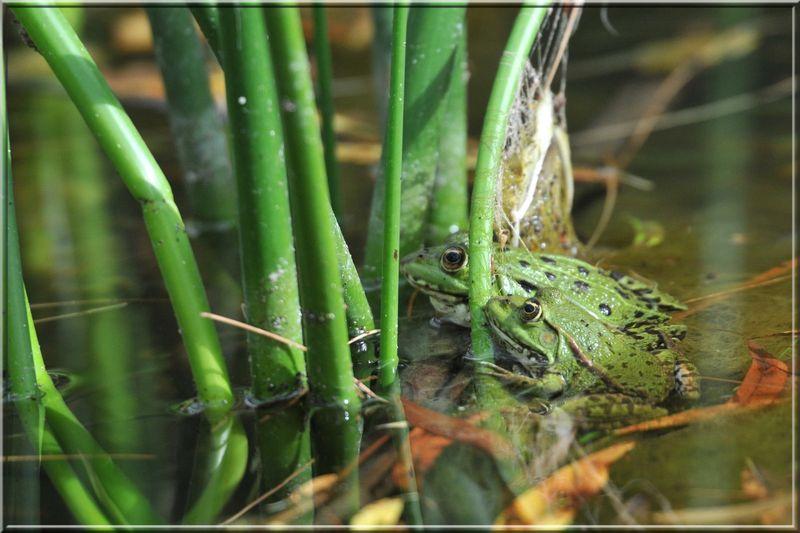 grenouille 012