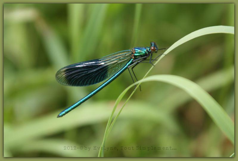 Macro---Insectes--Papillons--9677.JPG