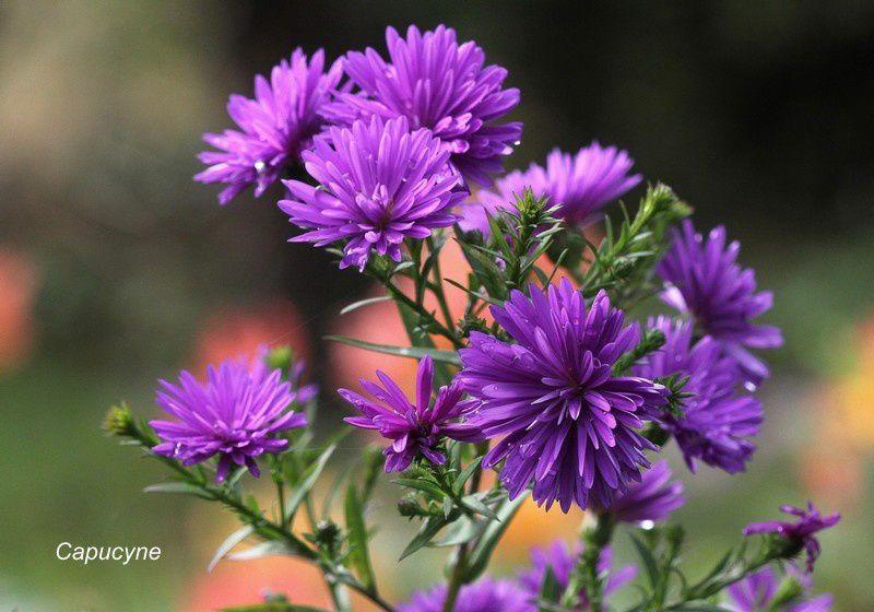 Fleurs d 39 automne au jardin asters la nature et la plume for Fleurs automne