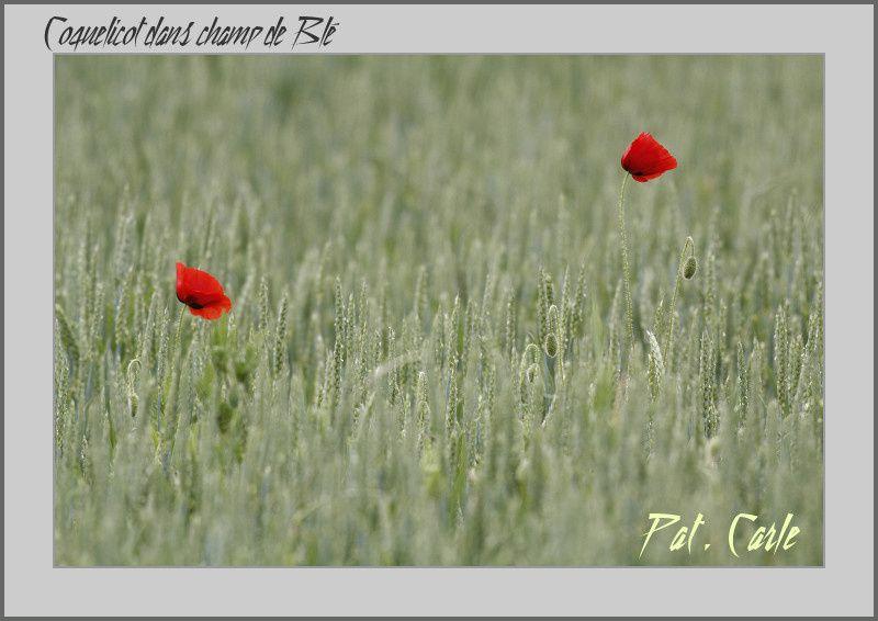 coquelicot-023-border.jpg