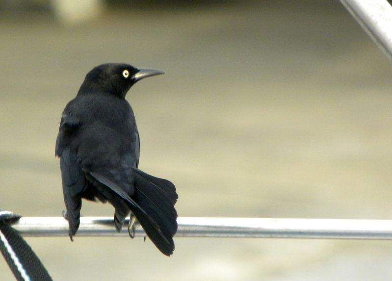 Trinidad Merle noir 2