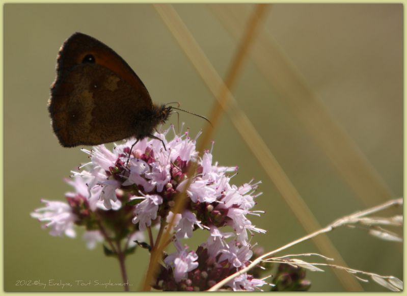 Macro---Insectes--Papillons--9467.JPG
