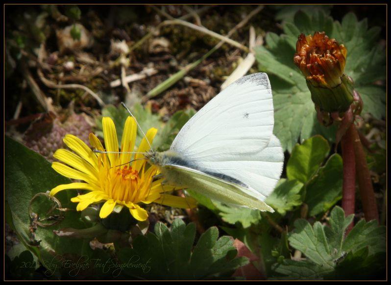 Fleurs--insectes--gouttes-et-autres-macro--5479.JPG