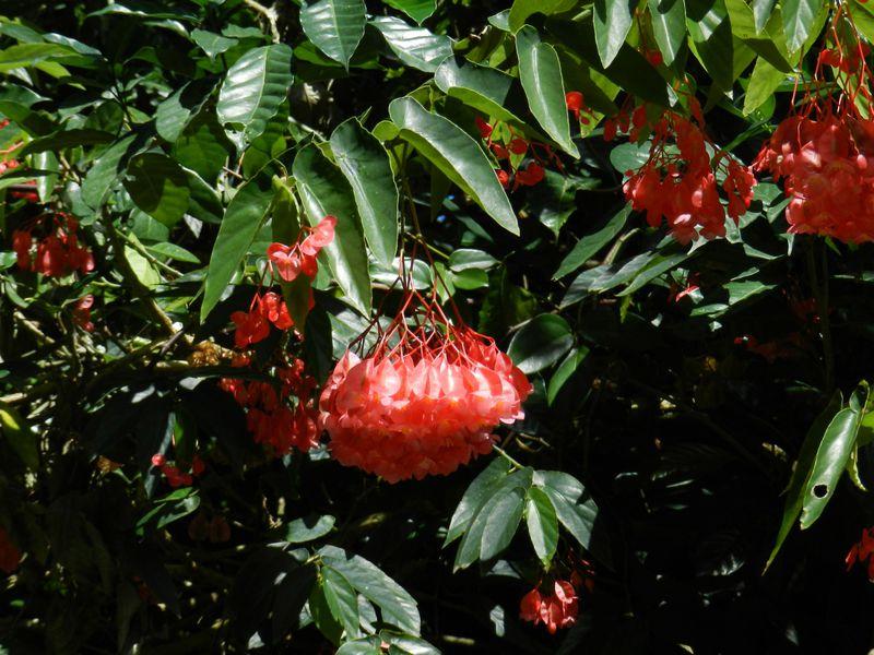 Guadeloupe Deshaies JardBot Begonia Maculata Tamaya 3 copie