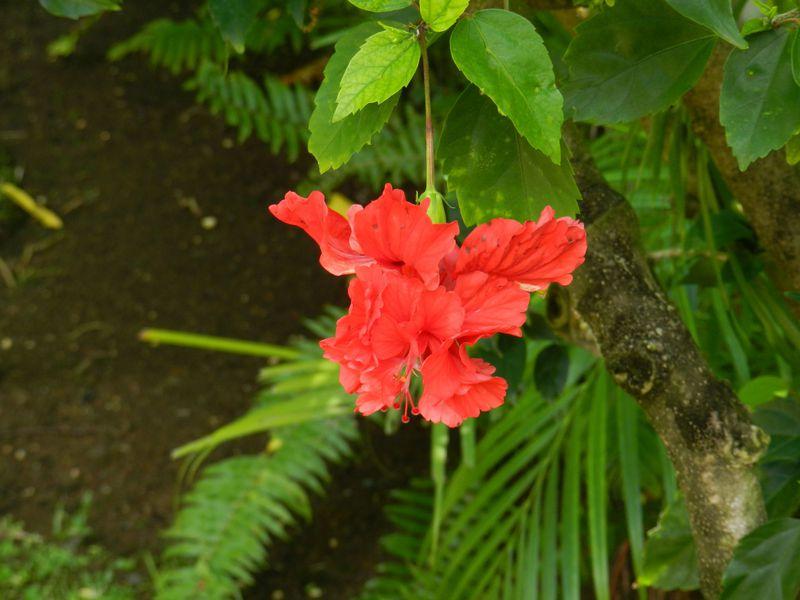 Guadeloupe Deshaies JardBot Ibiscusxx 1 copie