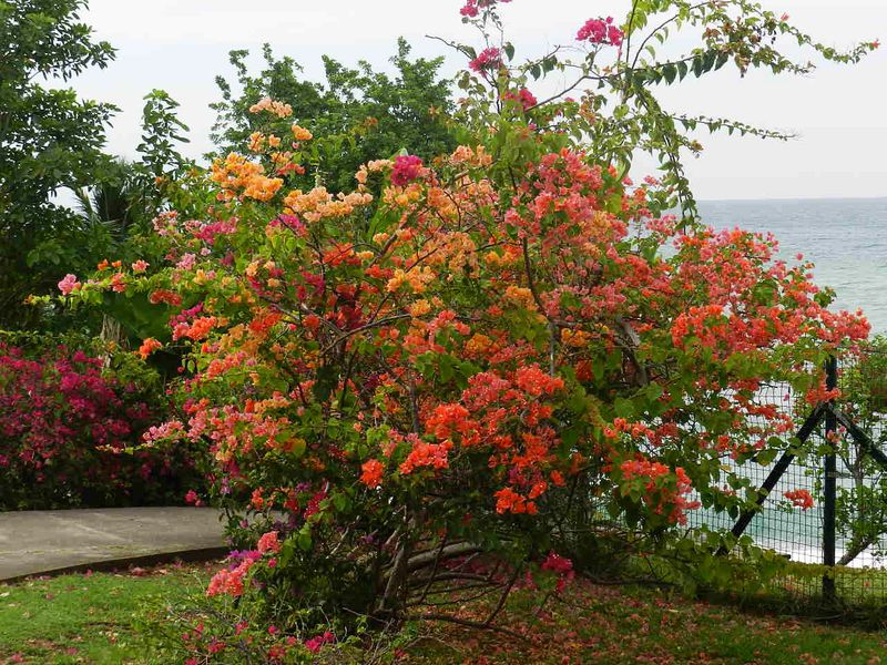 Martinique Bougainvillier