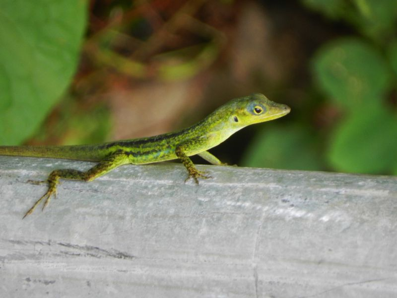 Martinique Lezard Anolis xx2