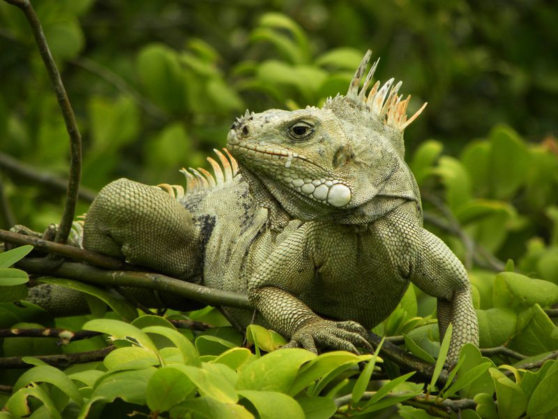 Iguane Grenadines TobCays PtBateau2