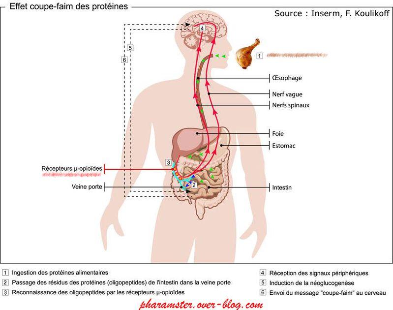 12-10-10-Illustration-Effet-coupe-faim-des-proteines-pharam.jpg