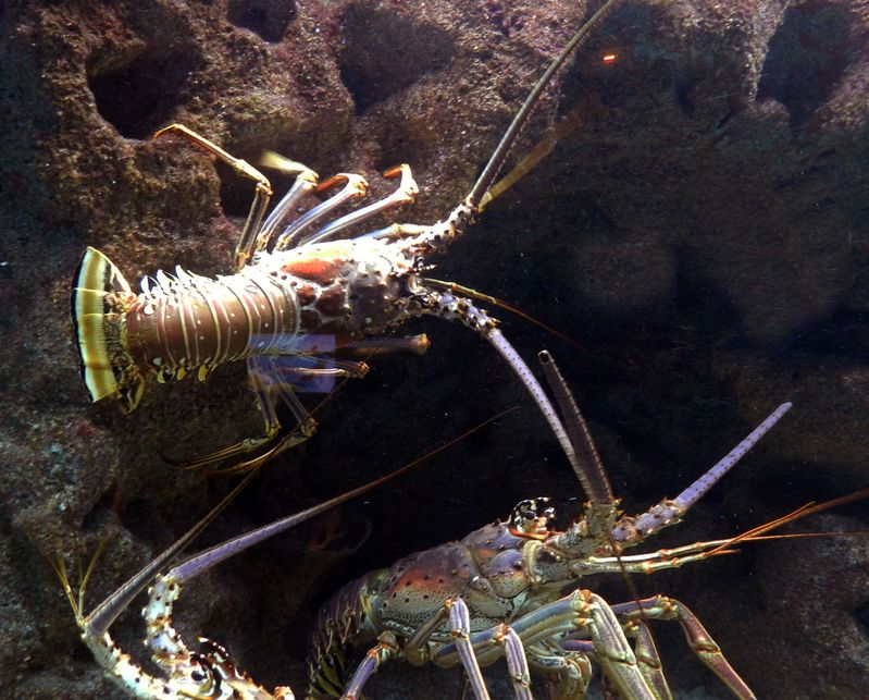 Guadeloupe Aquarium Gosier Langouste Royale 1 copie