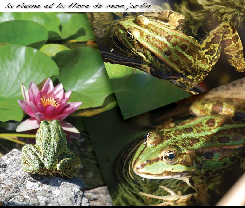 Grenouille09 2012