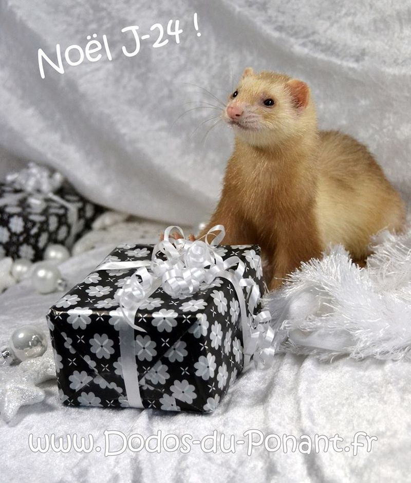 dodos du ponant noel (2)