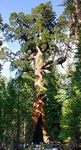 CALIFORNIE-Grizzly Giant Mariposa Grove