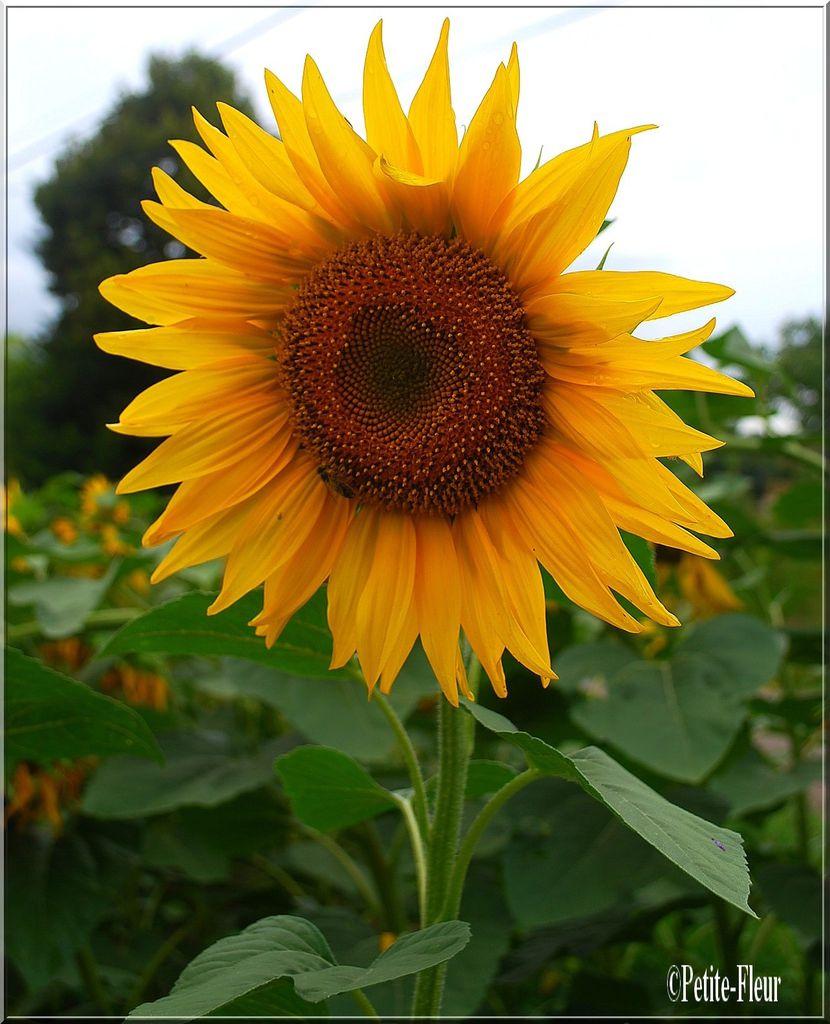 Fleur du soleil un jour une photo un blog - Fleur du soleil ...