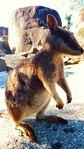 Wallaby des montagnes, QLD