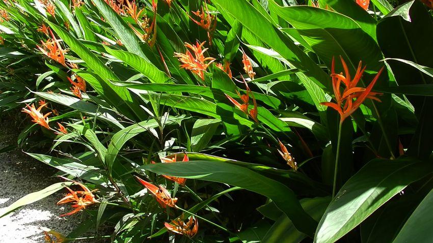 Heliconia Acuminata Ste Lucie 1 copie