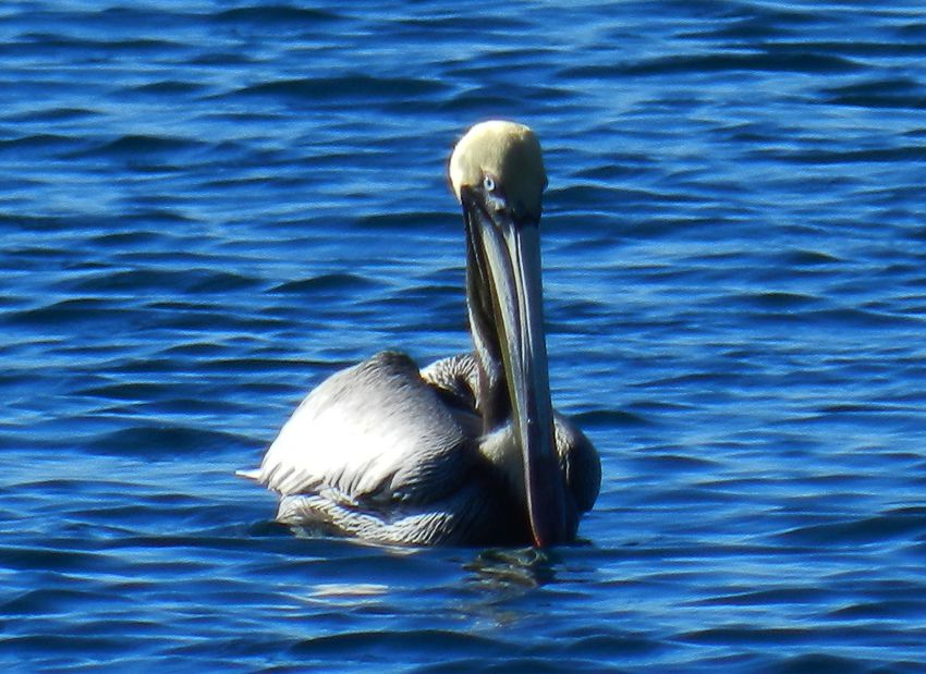 Pelican Brun Dominique2 copie