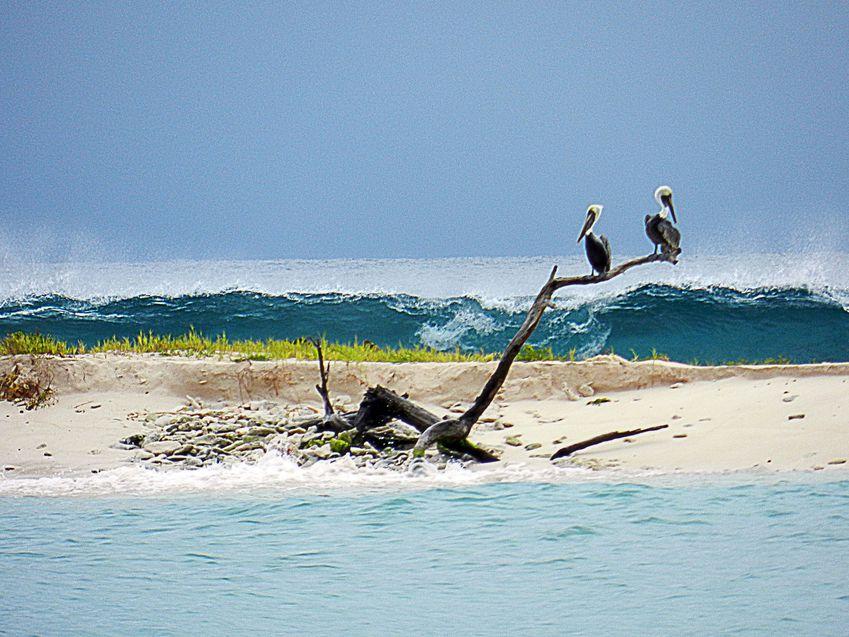 Cariacou SandyIsland Pelican 21 copie