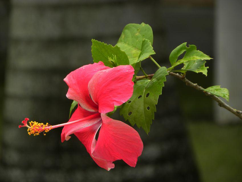 Bresil Bahia Ibiscus Rouge22 copie