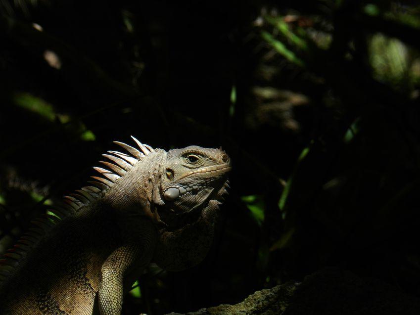 Iguane xx TobagoK 6 copie
