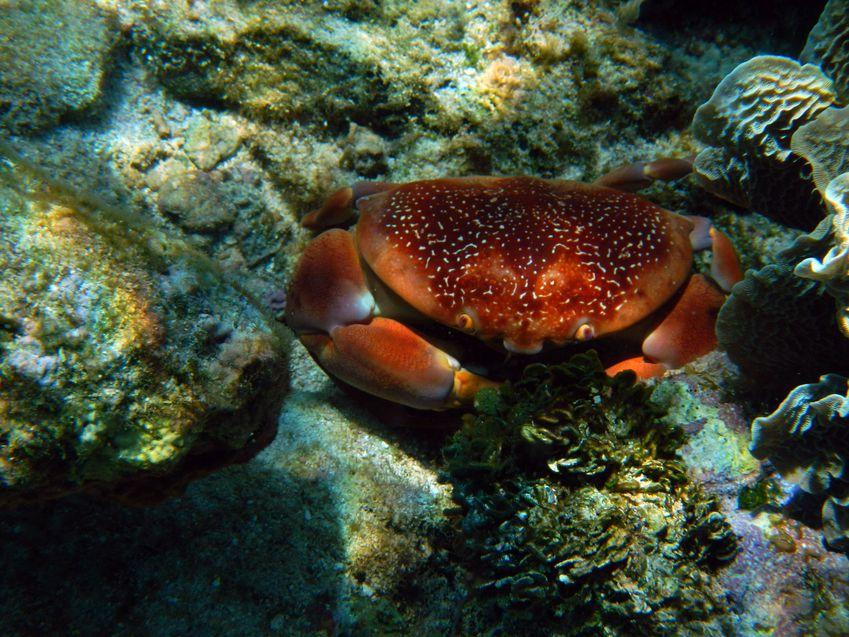 Crabe xxHonduras