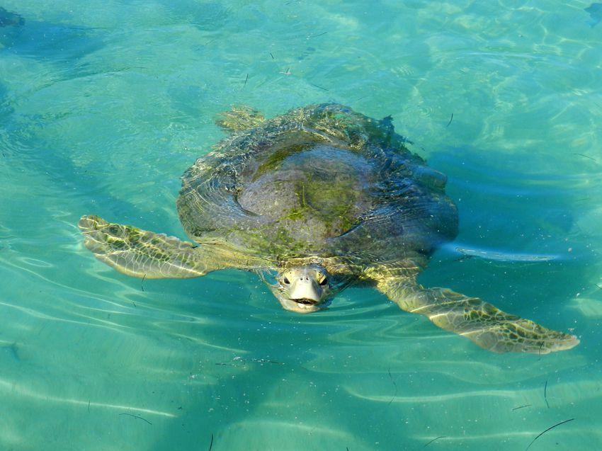 Honduras Guanaja Josh'sCay Tortue Aquarium1 copie