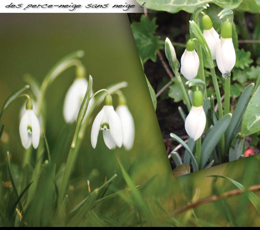 Les premi res fleurs de nos jardins sarralbe f vrier for Fleurs de nos jardins