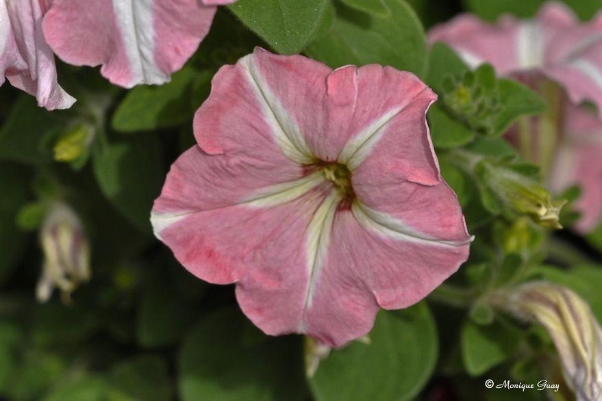 petunia-3511.jpg