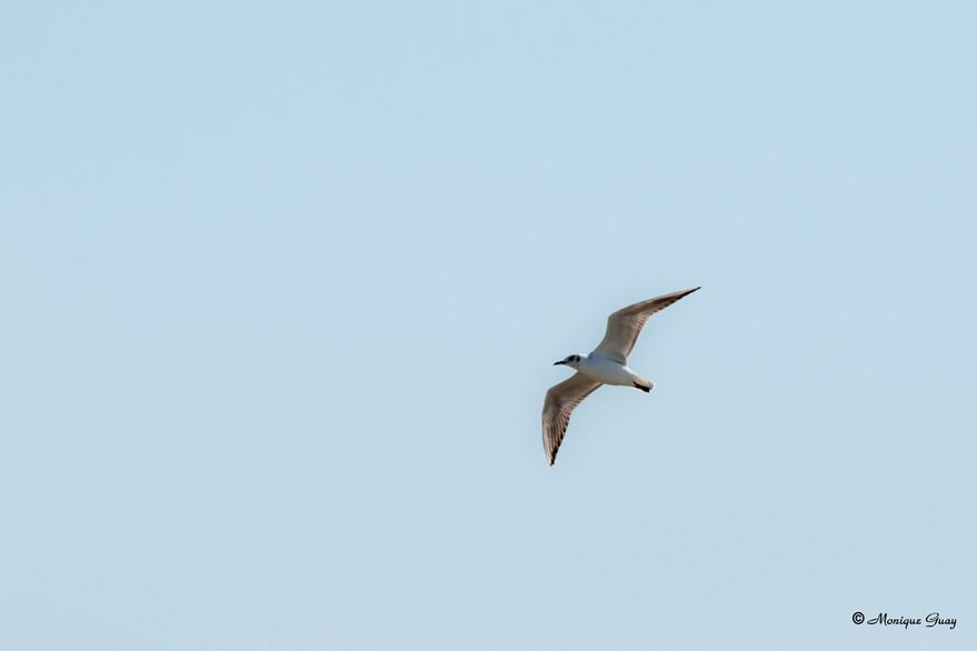 mouette-rieuse-6357.jpg
