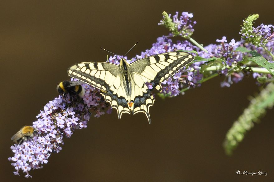 papillon-machaon-2905.jpg