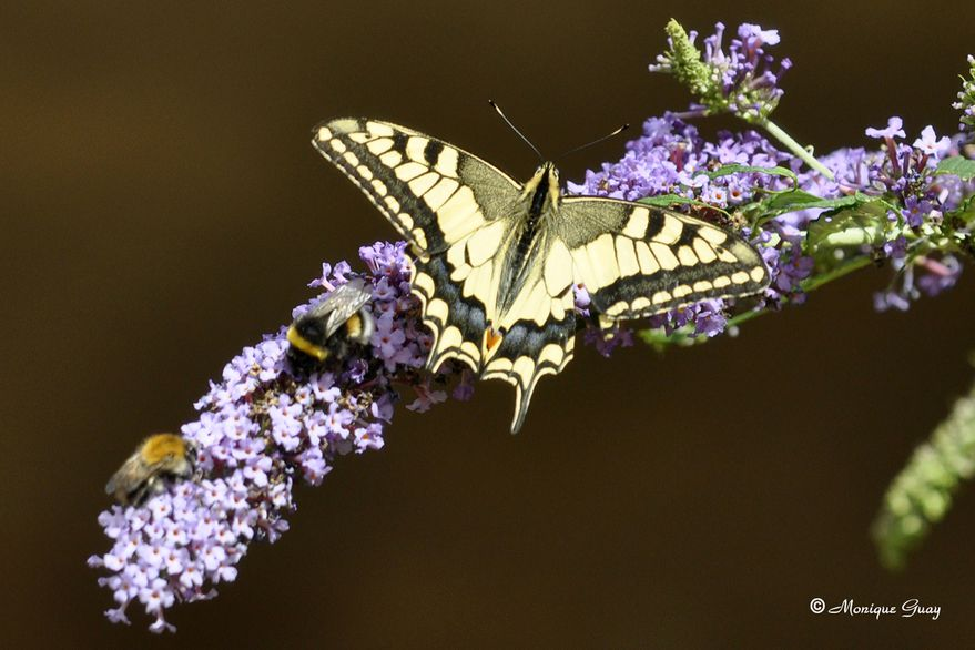 papillon-machaon-2906.jpg