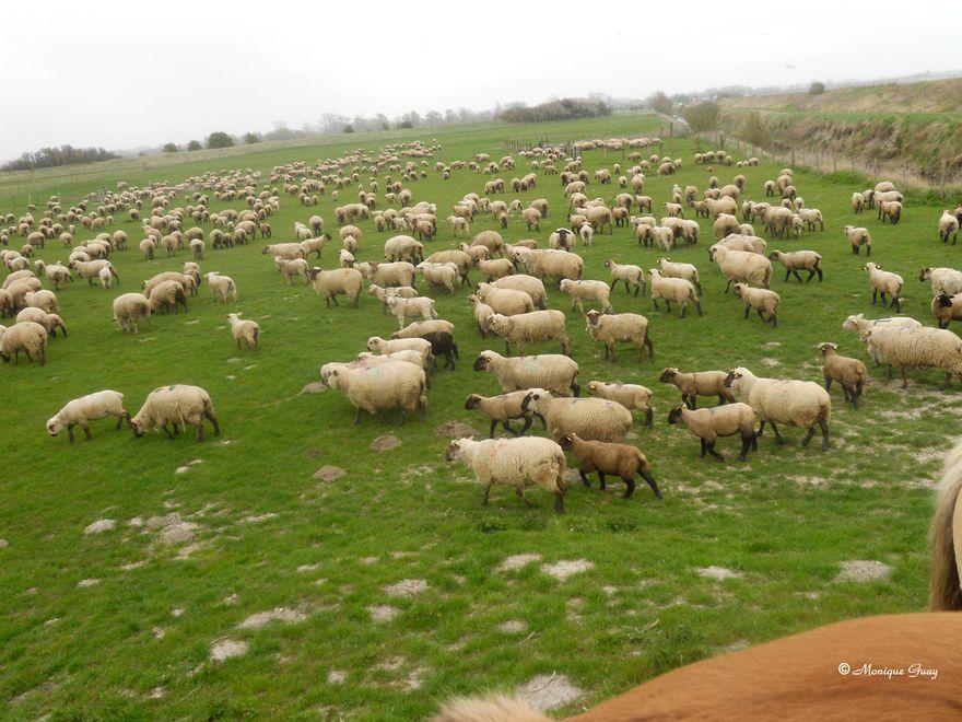 moutons-0366.jpg