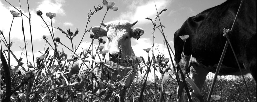 vaches (12)